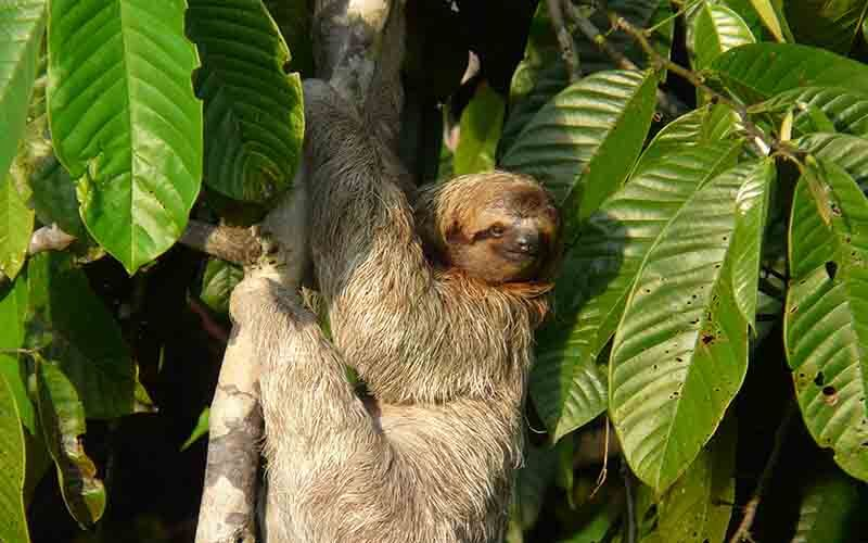 three toed sloth dominical